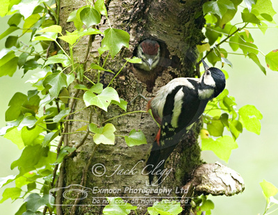 Great Spotted Woodpecker D66 123