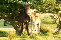 Exmoor Pony D67 3