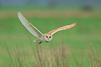 BARN OWL_EXP2303