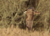 MARSH HARRIER EP7856A
