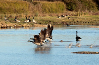 CANADA GEESE EP 7845
