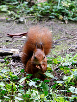 RED SQUIRREL EP5527A
