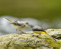 GREY WAGTAIL EP6637A
