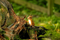 RED SQUIRREL EP3225B