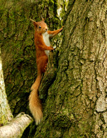 RED SQUIRREL EP3095B