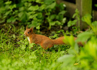 RED SQUIRREL EP3202B
