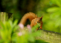 RED SQUIRREL EP3204B