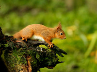 RED SQUIRREL EP3223B