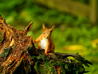 RED SQUIRREL EP3233B