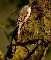 TREE CREEPER EP7226B