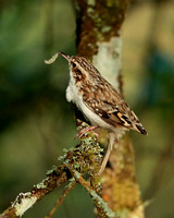 TREE CREEPER EP7231B