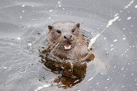 Otter Cubs at Play