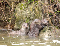 Otters in Dorset