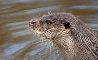 Otters / Mink / Vole Galleries