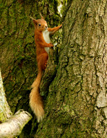 RED SQUIRREL EP3099B