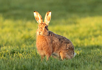 BROWN HARE 8008F