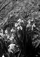 SNOWDROPS EP6980A BW
