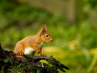 RED SQUIRREL EP3216B