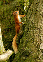 RED SQUIRREL EP3089B
