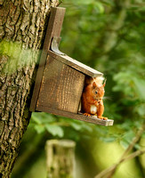 RED SQUIRREL EP3082B